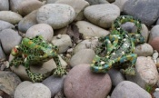 Resin Mosaic Gecko and Frog
